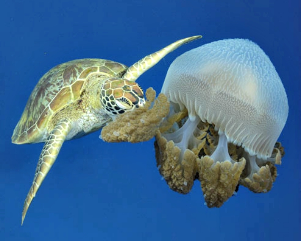 turtle vs jelly